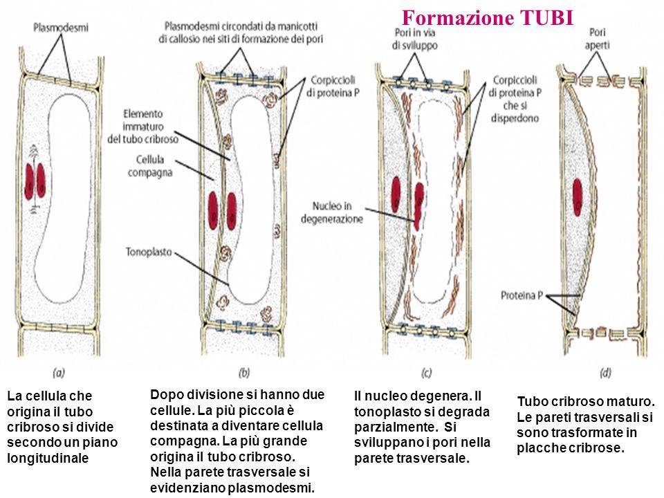 Formazione TUBI La cellula che origina il tubo cribroso si divide secondo un piano longitudinale.