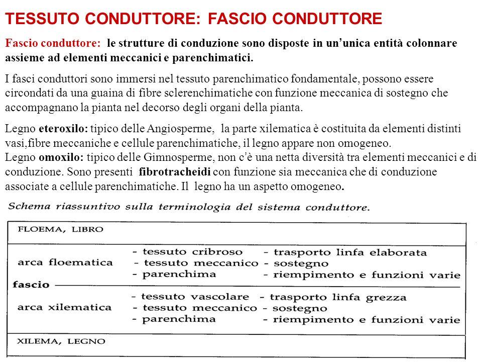 TESSUTO CONDUTTORE: FASCIO CONDUTTORE