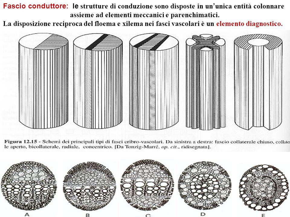 Fascio conduttore: le strutture di conduzione sono disposte in un'unica entità colonnare assieme ad elementi meccanici e parenchimatici.
