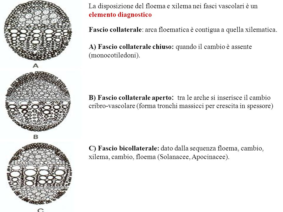 La disposizione del floema e xilema nei fasci vascolari è un elemento diagnostico