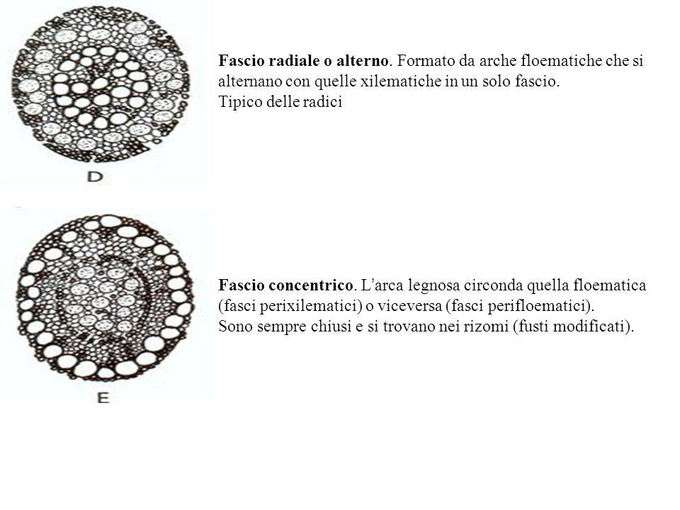 Fascio radiale o alterno