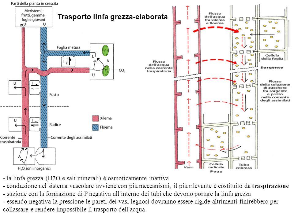 Trasporto linfa grezza-elaborata