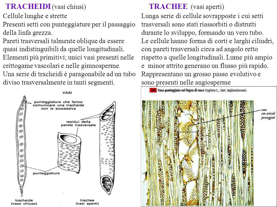 TRACHEIDI (vasi chiusi)