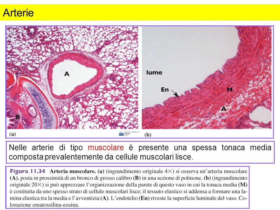Arterie Figura da: Istologia. Dalle Donne et al., Edizioni EdiSES.