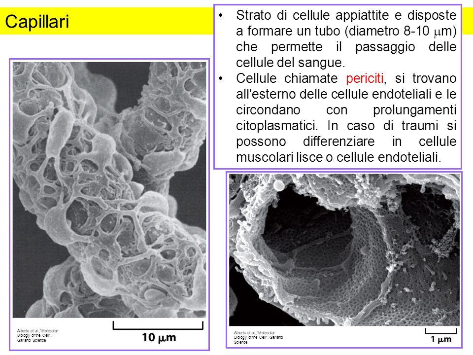 Strato di cellule appiattite e disposte a formare un tubo (diametro 8-10 mm) che permette il passaggio delle cellule del sangue.