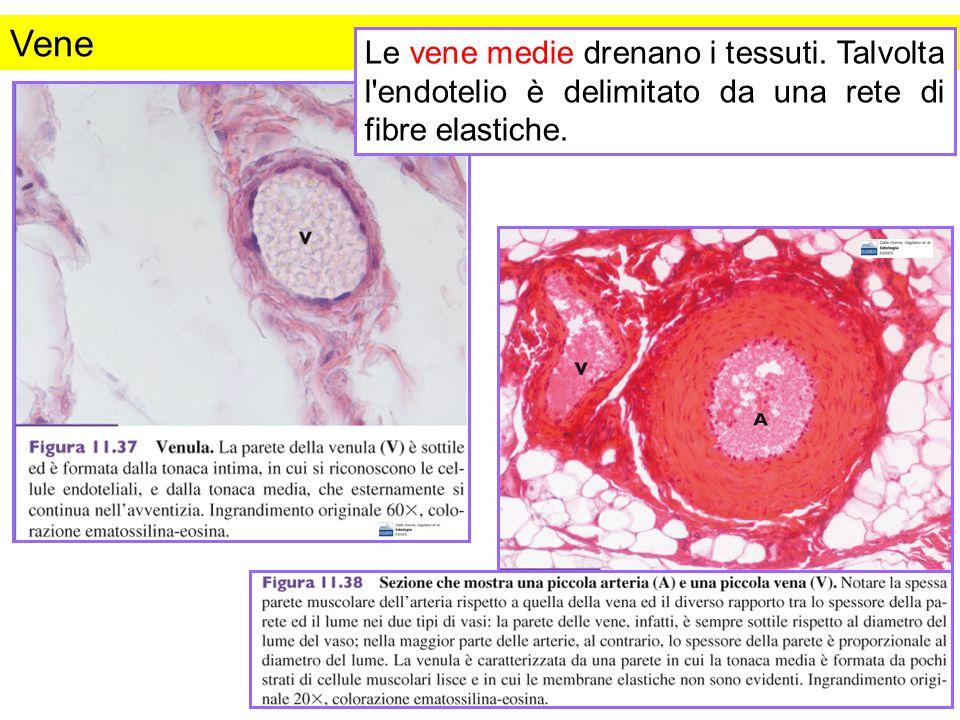 Vene Le vene medie drenano i tessuti. Talvolta l endotelio è delimitato da una rete di fibre elastiche.