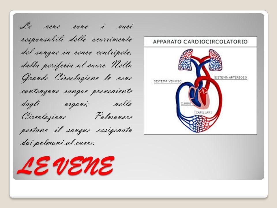 Le vene sono i vasi responsabili dello scorrimento del sangue in senso centripeto, dalla periferia al cuore. Nella Grande Circolazione le vene contengono sangue proveniente dagli organi; nella Circolazione Polmonare portano il sangue ossigenato dai polmoni al cuore.
