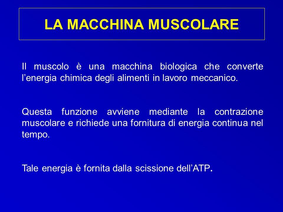 LA MACCHINA MUSCOLARE Il muscolo è una macchina biologica che converte l'energia chimica degli alimenti in lavoro meccanico.