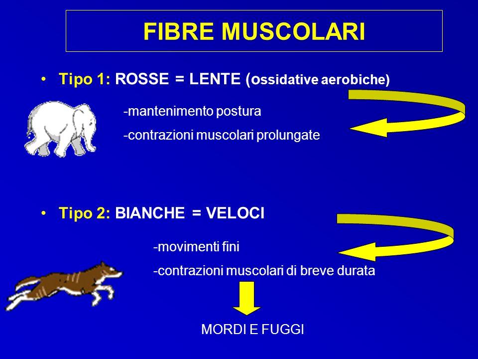 FIBRE MUSCOLARI Tipo 1: ROSSE = LENTE (ossidative aerobiche)