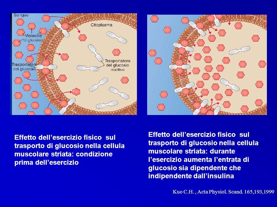 Effetto dell'esercizio fisico sul trasporto di glucosio nella cellula muscolare striata: durante l'esercizio aumenta l'entrata di glucosio sia dipendente che indipendente dall'insulina