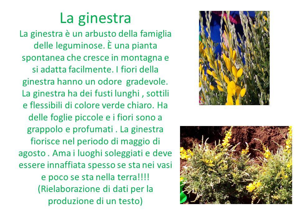 La ginestra La ginestra è un arbusto della famiglia delle leguminose