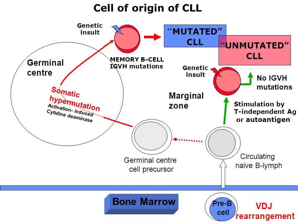 Cell of origin of CLL MUTATED UNMUTATED Bone Marrow CLL CLL