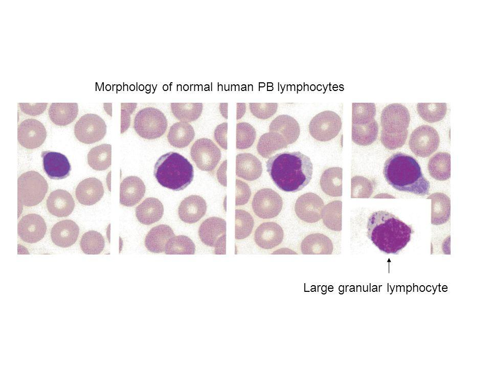 Morphology of normal human PB lymphocytes