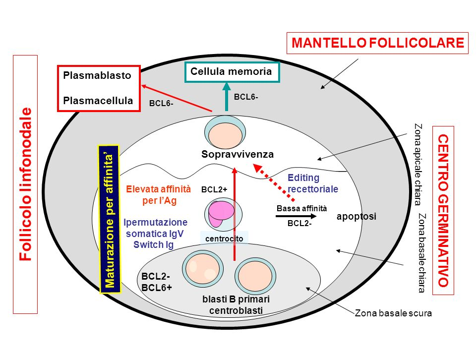 Follicolo linfonodale
