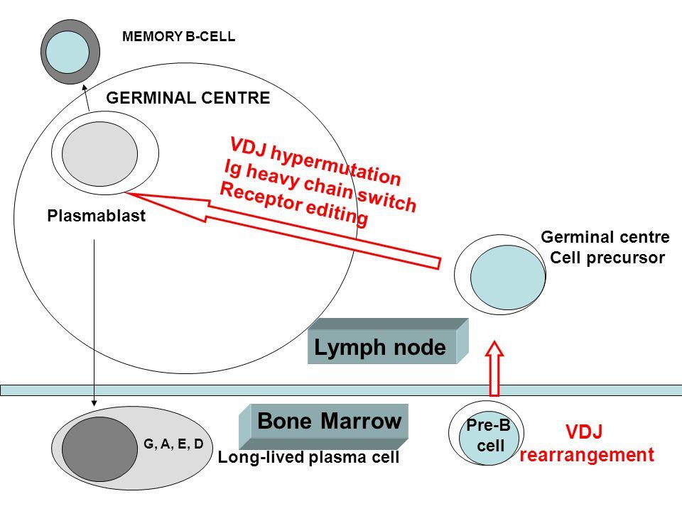 Lymph node Bone Marrow VDJ hypermutation Ig heavy chain switch