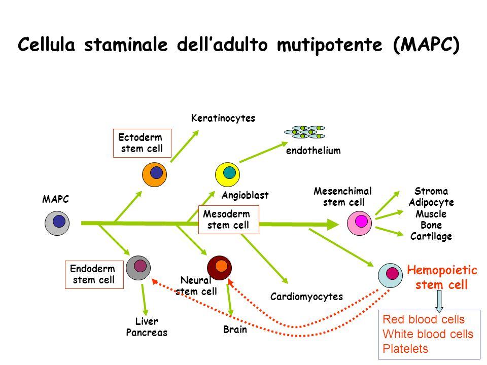Cellula staminale dell'adulto mutipotente (MAPC)