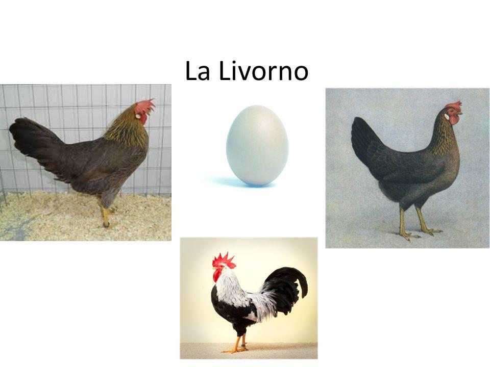 La Livorno