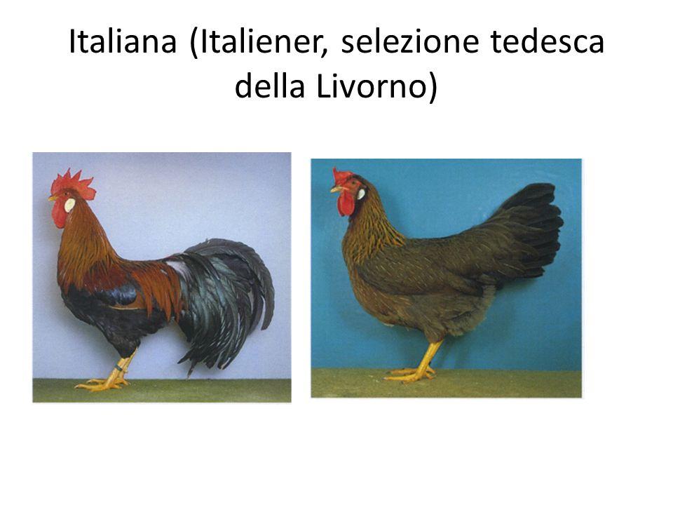 Italiana (Italiener, selezione tedesca della Livorno)