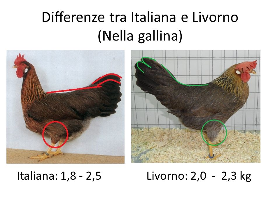 Differenze tra Italiana e Livorno (Nella gallina)