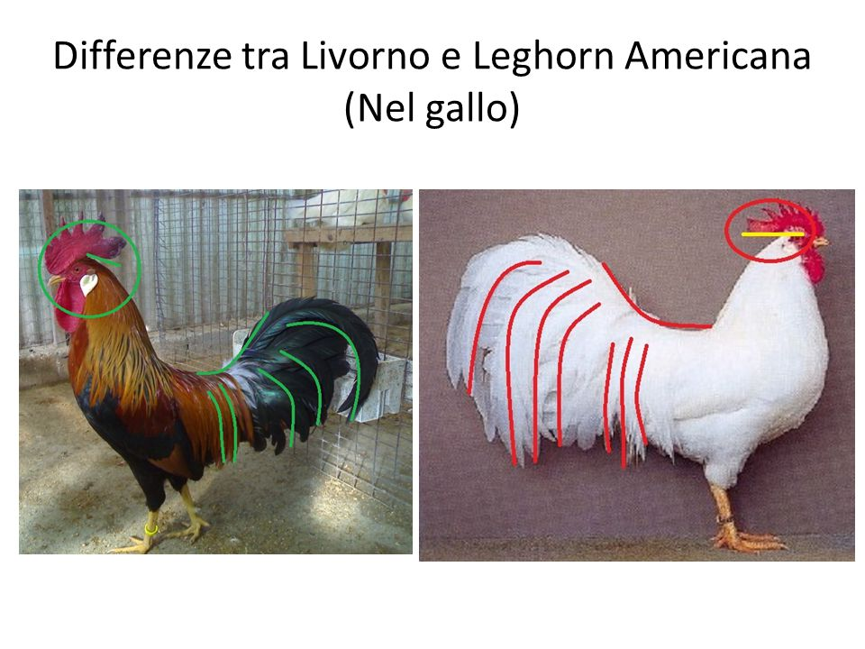 Differenze tra Livorno e Leghorn Americana (Nel gallo)
