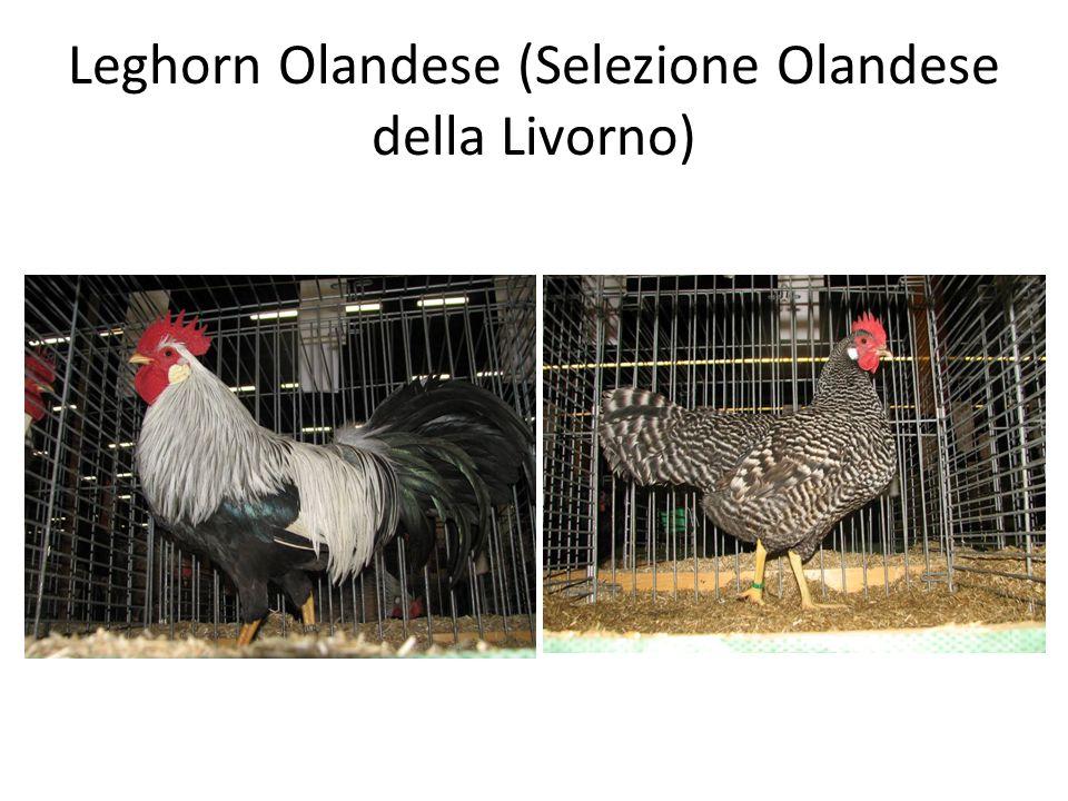 Leghorn Olandese (Selezione Olandese della Livorno)