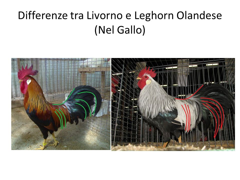 Differenze tra Livorno e Leghorn Olandese (Nel Gallo)