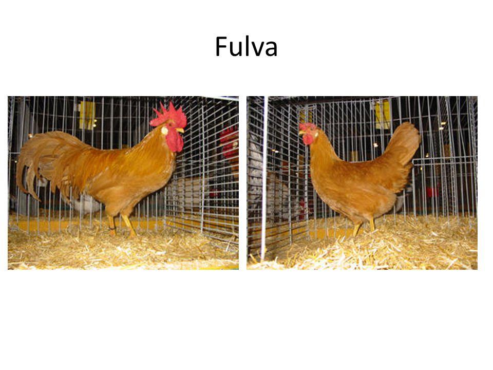 Fulva