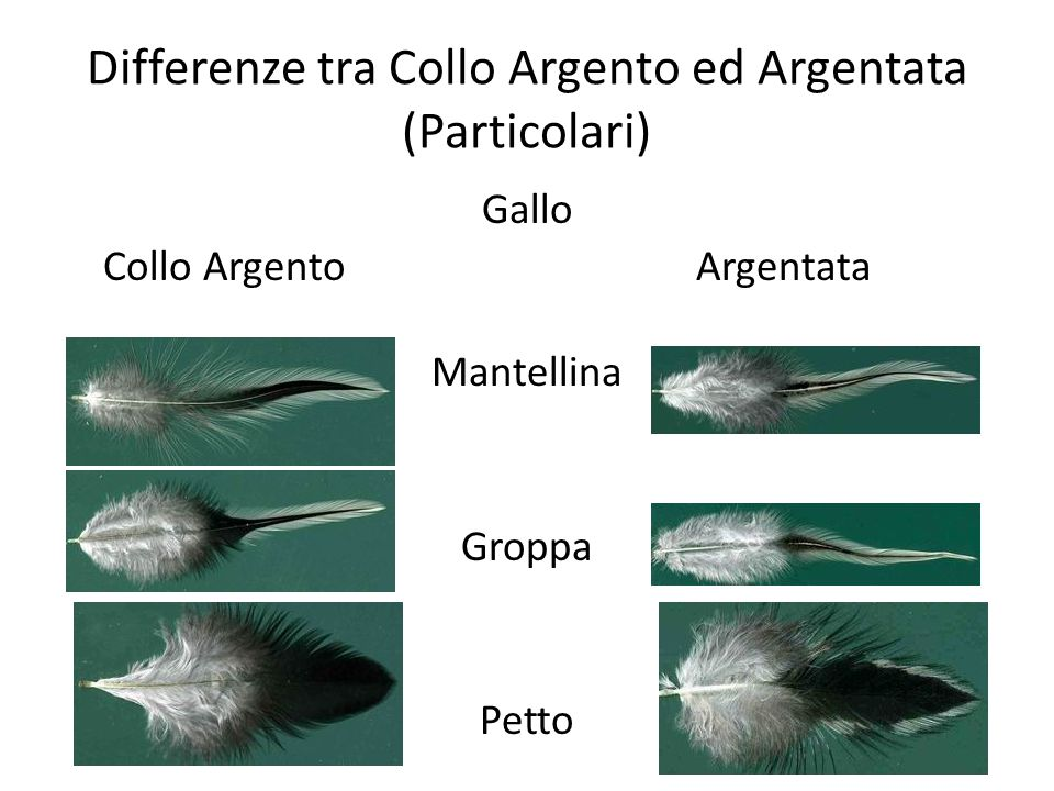 Differenze tra Collo Argento ed Argentata (Particolari)