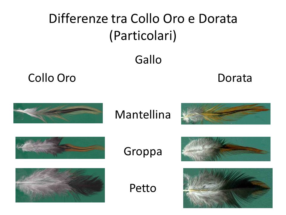 Differenze tra Collo Oro e Dorata (Particolari)