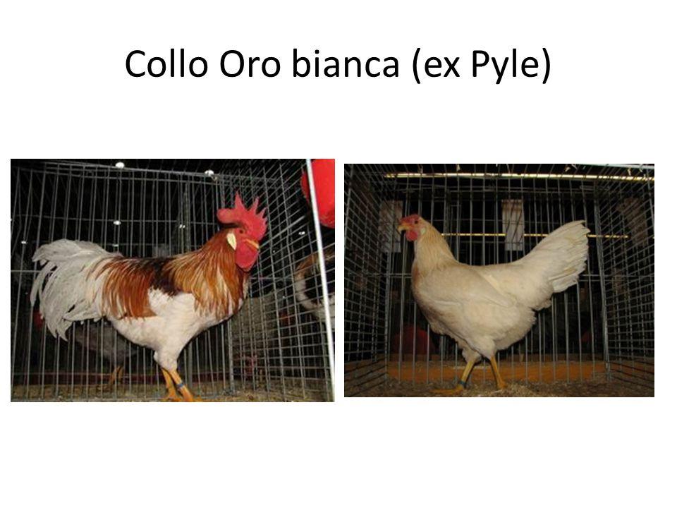 Collo Oro bianca (ex Pyle)