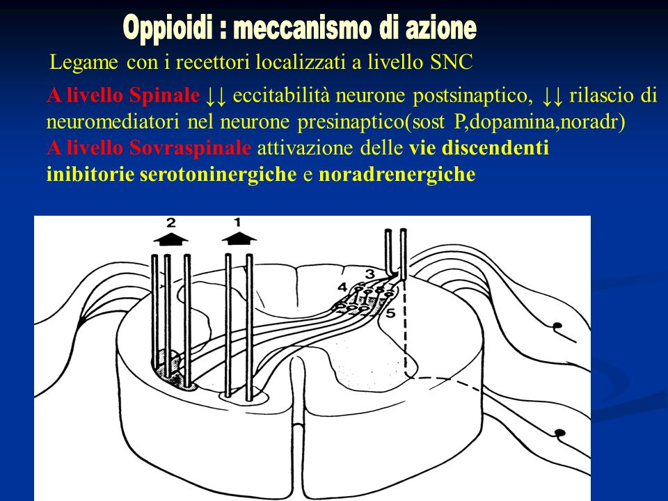 Oppioidi : meccanismo di azione