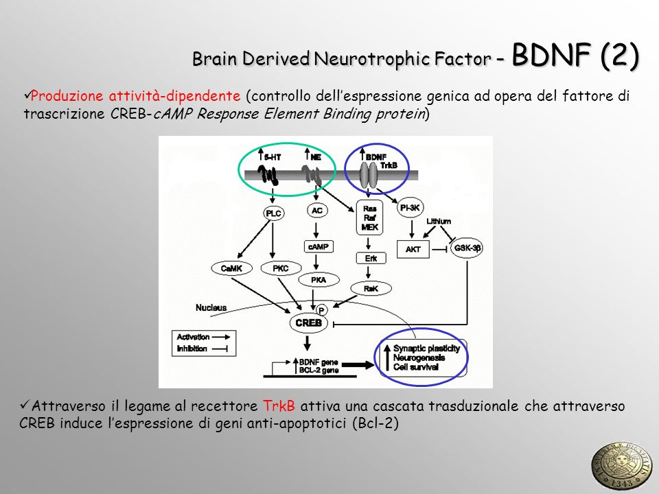 Brain Derived Neurotrophic Factor – BDNF (2)