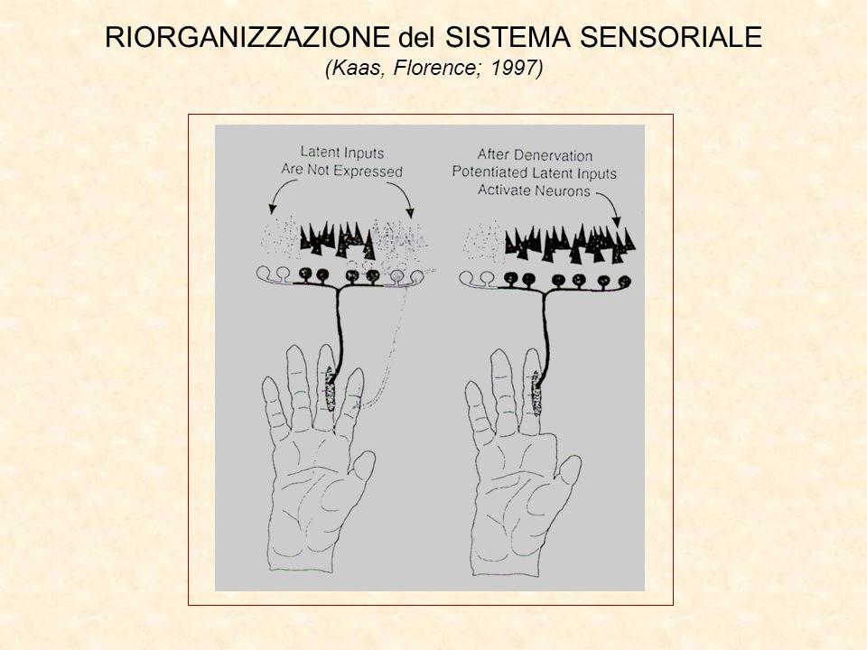 RIORGANIZZAZIONE del SISTEMA SENSORIALE (Kaas, Florence; 1997)
