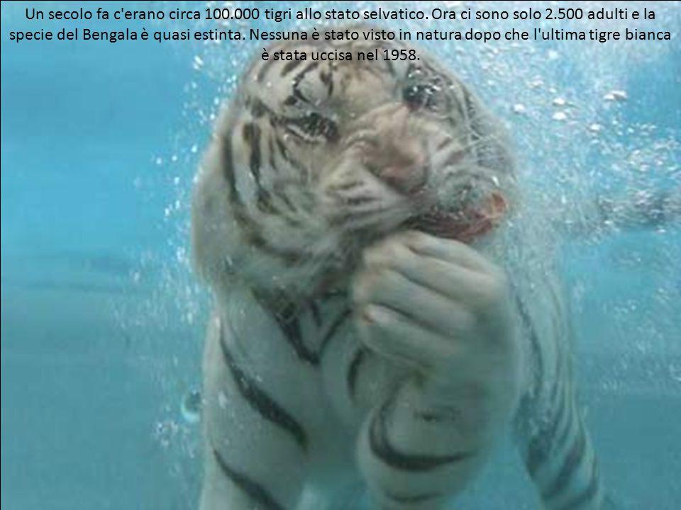 Un secolo fa c erano circa 100. 000 tigri allo stato selvatico