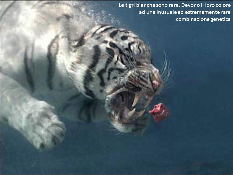 Le tigri bianche sono rare. Devono il loro colore