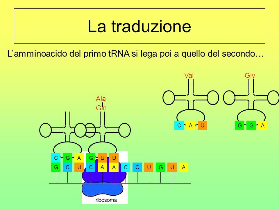 La traduzione L'amminoacido del primo tRNA si lega poi a quello del secondo… U. C. A. Val. A. G.