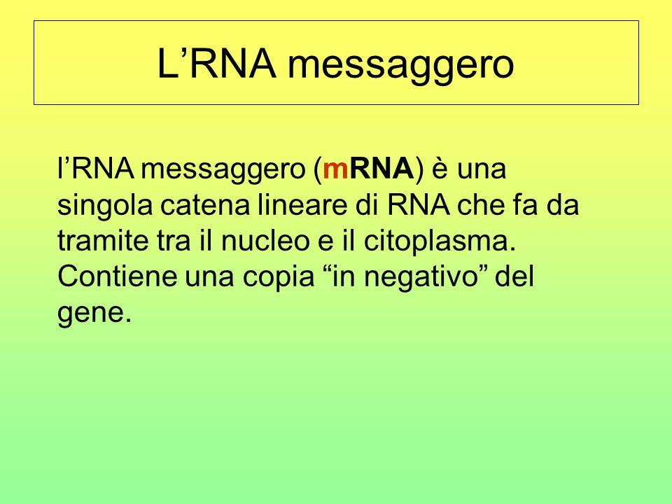 L'RNA messaggero