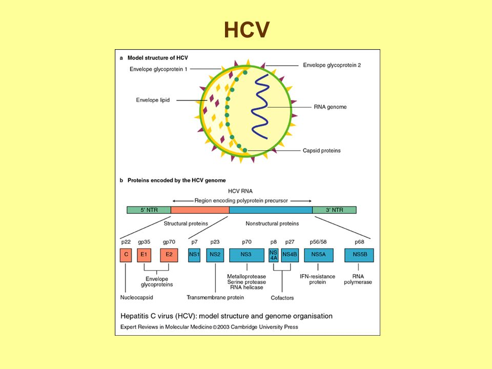 Epatite infettiva epatite non infettiva ipertransaminasemia allergica ppt video online scaricare - Periodo finestra hcv ...