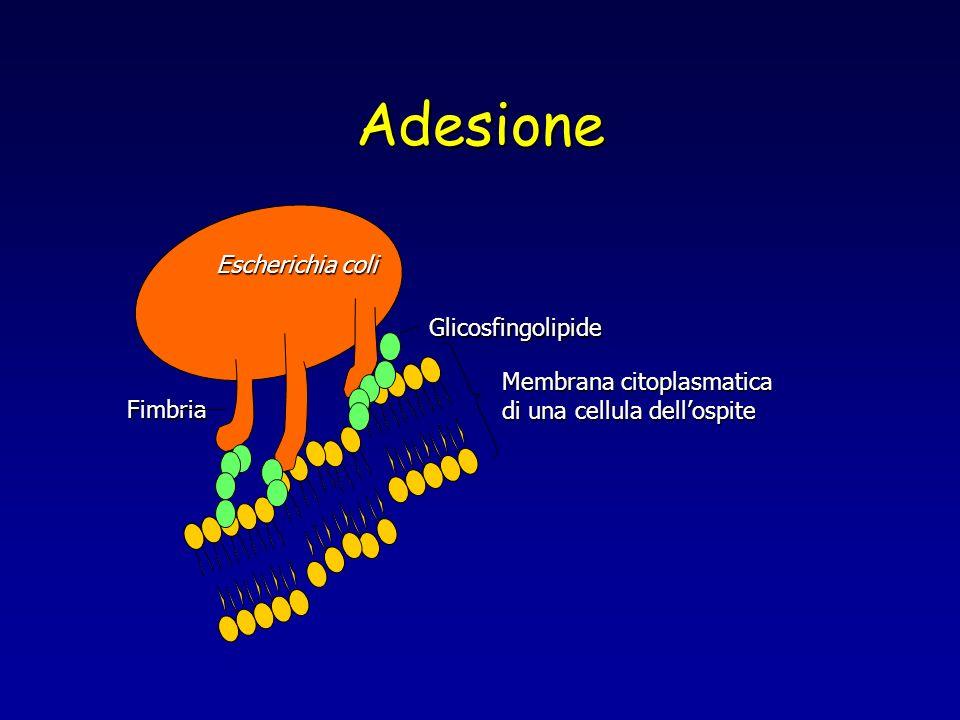 Adesione Escherichia coli Glicosfingolipide Membrana citoplasmatica
