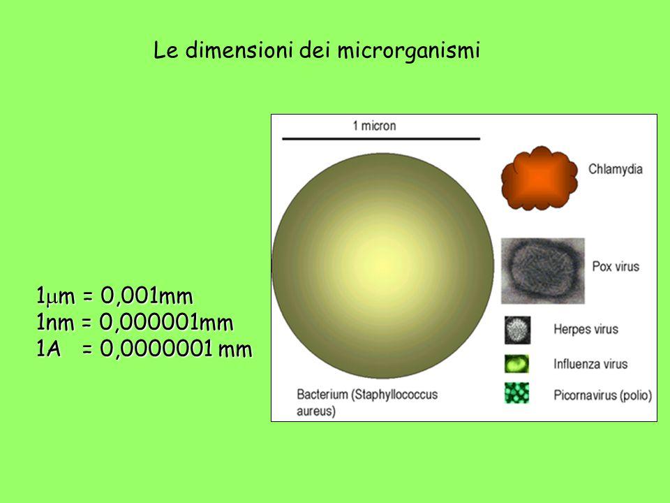 Le dimensioni dei microrganismi