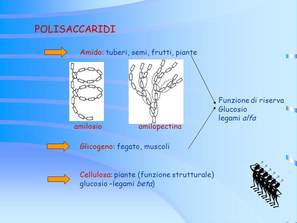 POLISACCARIDI Amido: tuberi, semi, frutti, piante Funzione di riserva