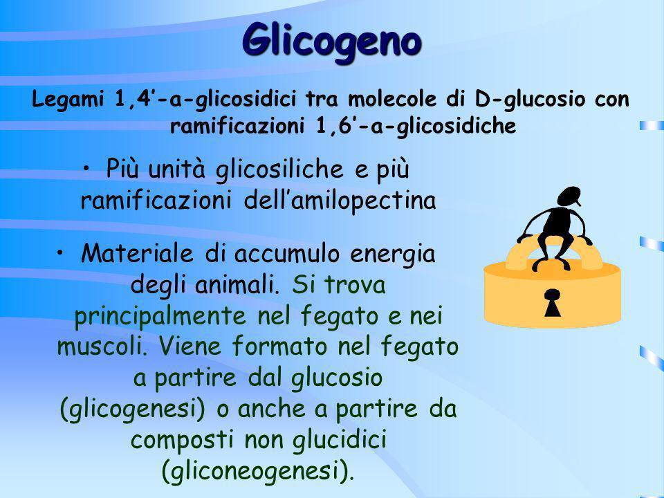 Più unità glicosiliche e più ramificazioni dell'amilopectina