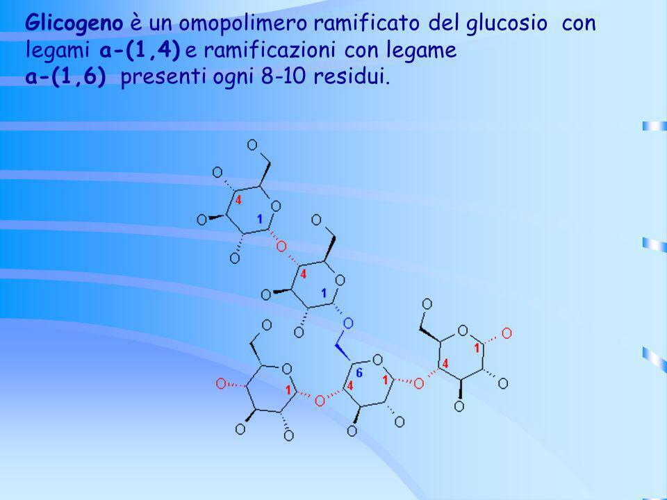 Glicogeno è un omopolimero ramificato del glucosio con legami a-(1,4) e ramificazioni con legame a-(1,6) presenti ogni 8-10 residui.