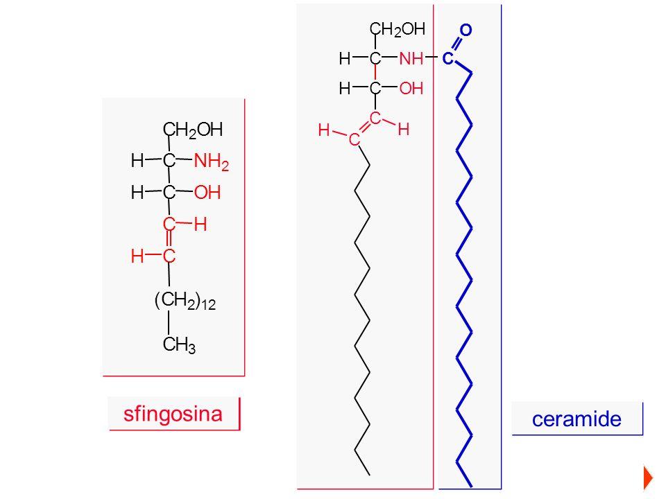 sfingosina ceramide C H O H H C N H H C O H C H H C ( C H ) C H C O C