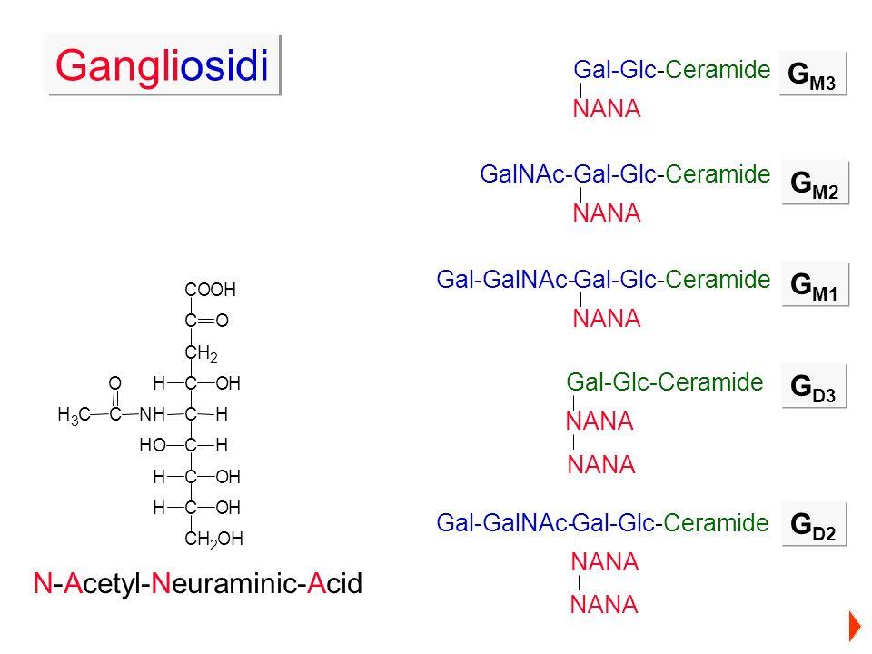 Gangliosidi GM3 GM2 GM1 GD3 GD2 N-Acetyl-Neuraminic-Acid