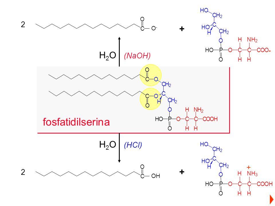 fosfatidilserina + - H2O (NaOH) H2O (HCl) + 2 2 O- OH O HO H C P N O C