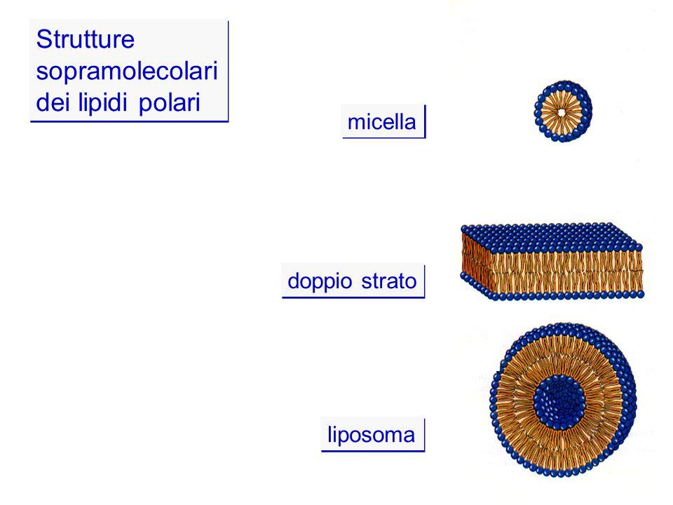 Strutture sopramolecolari dei lipidi polari micella doppio strato