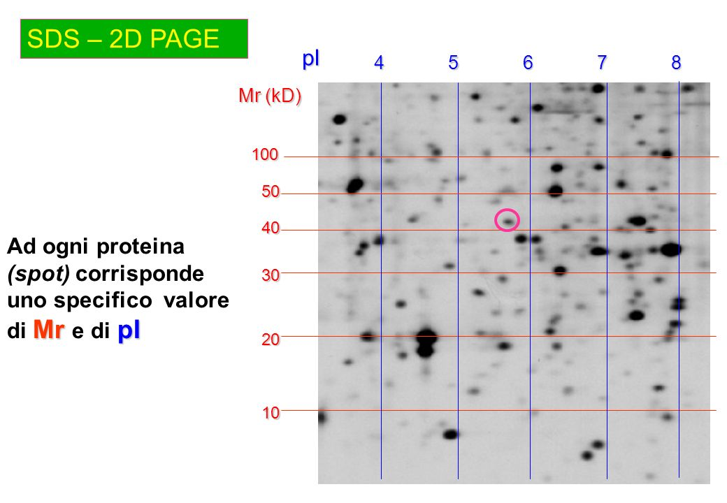 SDS – 2D PAGE 4. 5. 6. 7. 8. pI. Mr (kD) 100. 50. 40. Ad ogni proteina (spot) corrisponde uno specifico valore di Mr e di pI.
