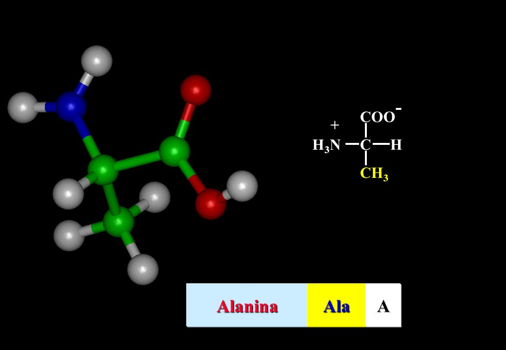 CH3 COO- C H H3N + Alanina Ala A
