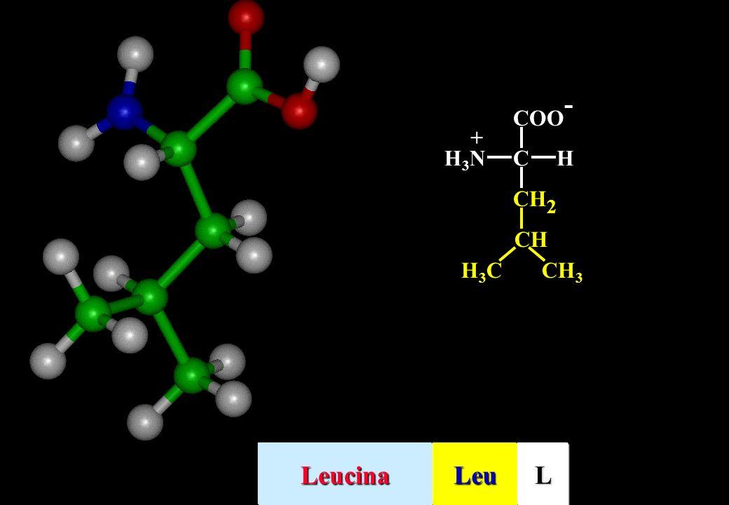 CH2 COO- C H H3N + CH CH3 H3C Leucina Leu L